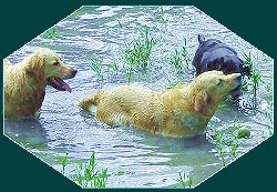 Three labradors swimming in pond.